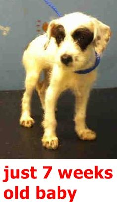 09/27/15-~ Animal ID #A1348113 My Name is HANNAH. I am a Female, White Poodle - Standard and German Wirehaired Pointer. The shelter thinks I am about 7 weeks old. I have been at the shelter since September 18, 2015. City of Houston, BARC Animal Shelter & Adoptions Telephone ‒ (713) 229-7300 2700 Evella Street Houston, TX Fax: (713) 238-2189 https://www.facebook.com/OPCA.Shelter.Network.Alliance/photos/pb.481296865284684.-2207520000.1442689572./889732417774458/?type=3&theater