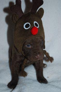 Ellis Farms Chesapeake Bay Retriever - Zoe's pup at 24 days old. Chesapeake Bay, Farms, Pup, Crochet Hats, Knitting Hats, Homesteads, Dog Baby, Puppies, Puppys