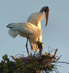 Woodstorks Stork Bird, Delray Beach, Sea Birds, Pretty Birds, Predator, Feathers, Wildlife, Florida, Nature