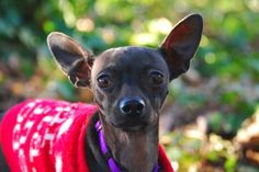Meet Pabst, a 2-year-old Italian Greyhound/Chihuahua mix. Pabst loves the attention of gentle handling by staff and volunteers and he has a cute way of talking to show it. He enjoyed meeting a dog and cat during his behavior assessment, moving away when the cat decided touching noses was enough. We are looking for a quiet home for Pabst, possibly with companion animals his size to ease his transition into his new home.  Pabst was ADOPTED! from Seattle Humane, January 2017