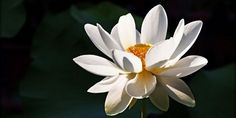 A prominent figure in Buddhist and Egyptian culture, and native flower for both India and Vietnam, the lotus holds enormous symbolic weight. It spans various thousand-year-old Eastern cultures and yet, is still considered one of the most sacred flowers today. So what is it about this mysterious blossom that people find so enrapturing?