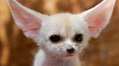 Fennec fox..