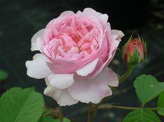 """ Mayor of Casterbridge "" (AUSbrid) - Shrub rose - Old rose fragrance - David C.H. Austin (UK), 1997"