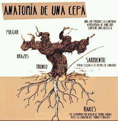 Anatomía de una cepa - 10 infografías sobre viñedos | The Big Wine Theory