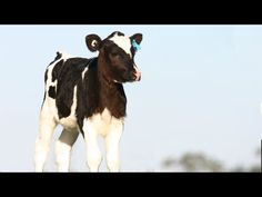 Heartbreaking Video Depicts Last Moments of Love Between Dairy Cow and Her Calf | One Green Planet