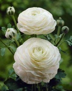 Ranunculus Asiaticus White Hardy perennial Thrives in sun or shade with moist but welldrained soil A good choice for borders pots and containers Garden Shrubs, Shade Garden, Garden Beds, Planting Bulbs, Planting Flowers, Flower Plants, White Ranunculus, Ranunculus Flowers, Ranunculus Wedding