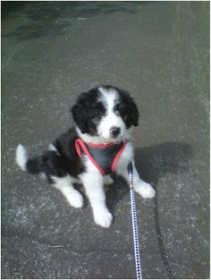 Bordoodle (Border collie Poodle cross). This will be my