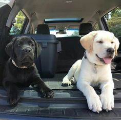 "Explore our internet site for additional information on ""labrador retriever dogs"". It is actually an excellent location to read more. Cute Lab Puppies, Black Lab Puppies, Cute Little Animals, Cute Funny Animals, Perro Labrador Retriever, Labrador Puppies, Golden Retriever, Retriever Puppies, Beagle"