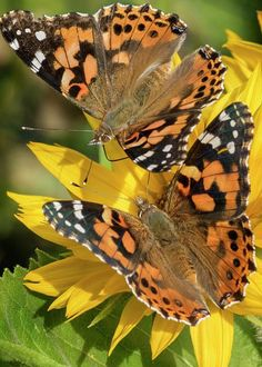 Painted Lady Butterflies Sharing A Sunflower by KG Photography