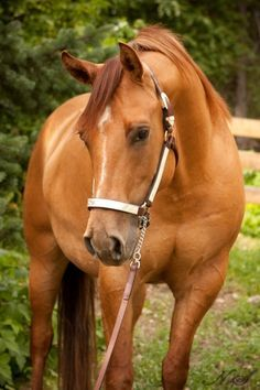 Palomino Buckskin/Dun; Absolutely Beautiful!