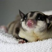 Making your own nectar for sugar gliders is one way to ensure they receive proper nutrition and a variety of foods. In the wild, sugar gliders eat many different foods including eucalyptus, nectar, insects, tree sap and fruit. Using this method to make nectar for sugar gliders, you can replicate their natural diet using honey, boiled eggs, fruit...
