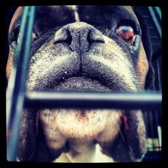 Our boxer Athos behind bars. Or at least in the car.