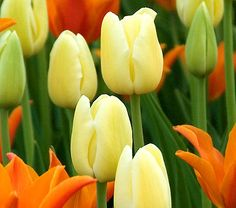 Tulipa 'City of Vancouver' | From White Flower Farm