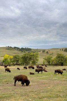 Custer State Park in the Black Hills of southwestern South Dakota