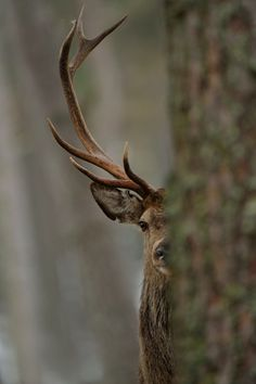 Peek-a-boo deer. 