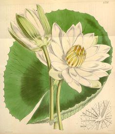 Nymphaea dentata. Curtis's botanical magazine v.72 [ser.3:v.2] (1846). London ;New York [etc.] :Academic Press [etc.] Biodiversitylibrary. Biodivlibrary. BHL. Biodiversity Heritage Library