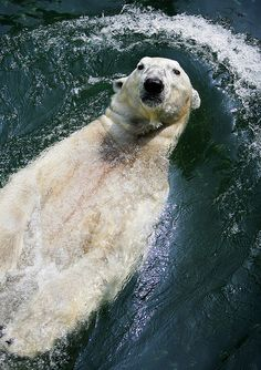 4942815b1c9 I love Polar bears would like to photograph them. Please check out my  website Thanks www.photopix.co.nz