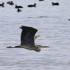 Fiskehejre i flugt ved Brunshuse #visitfyn #fyn #nature #landscape #naturelovers #nofilter #natur #denmark #danmark #dänemark #landscape #nofilter #assens #mitassens #assensnatur #vildmedfyn #fynerfin #vielskernaturen #visitassens #instapic #picoftheday #sea #beach #november #bird #greyheron