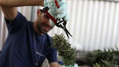 A worker trims a cannabis plant at the Tikun Olam plantation in Israel, where the company is growing medicinal marijuana with a fraction of the active ingredient TCH that gets people stoned.