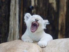 A white lion cub yawns on the back of its mother at the zoo in Magdeburg, Germany, on March 2, 2017.... - Peter Gercke/dpa via AP