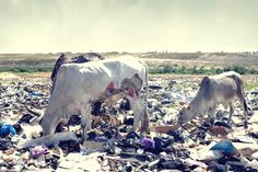 In Ghana Cows with open wounds graze on the site where tons of electronic waste is dumped