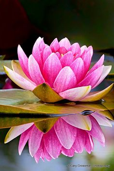 Purity: Pink Water-lilly reflected in a calm pond on a late May day in Oregon. Flickr - Photo Sharing!