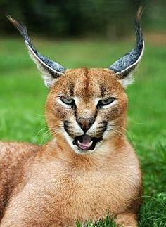 african lynx - Google Search