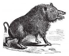 Illustration - Wild boar or Sus scrofa or Wild pig or Wild hog or Razorback or Boar or European Boar, vintage engraving. Old engraved illustration of Wild boar.