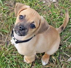 A puggle might just be the cutest dog in the world. And he is an essential for my future home. A puggle might just be the cu Shares Puggle Puppies, Cute Dogs And Puppies, I Love Dogs, Doggies, Adorable Puppies, Beagle, Cute Dogs Breeds, Dog Breeds, Baby Animals