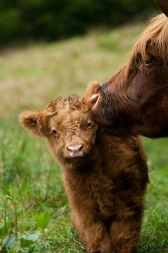 Highland Cattle: Mom gives her calf some tender loving care. Cute Baby Cow, Baby Cows, Cute Cows, Cute Baby Animals, Farm Animals, Animals And Pets, Baby Elephants, Elephant Baby, Wild Animals