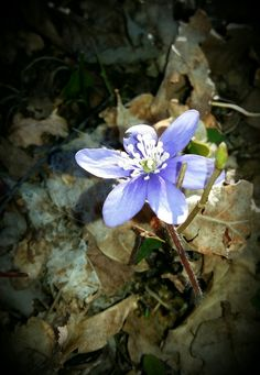 The power of springtime. Looking week but so strong! Hepatica.