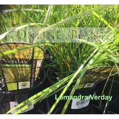 Lomandra Verday very hardy and long-lived form of Lomandra longifolia ideally suited for harsh landscape situations where low maintenance plants are paramount.