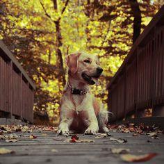 Luckygoldenretriever2018...follow us on instagram . Dogs, Animals, Instagram, Animales, Animaux, Pet Dogs, Doggies, Animal, Dog
