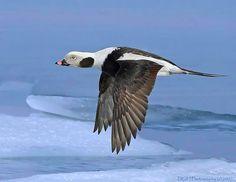 Male long-tailed duck - David Hemmings Duck Mount, David Hemmings, Rooster Breeds, Ducky Duck, Bee Hummingbird, Duck Pictures, Ducks Unlimited, Duck Decoys, Herons