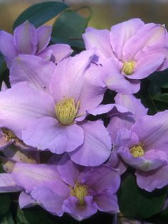 Clematis Silver Moon -- A new shade loving Clematis, blooming all summer.
