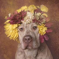 for the series 'flower power', sophie gamand aims to soften the impression of pit bulls by donning them in colorful crowns of greenery and blooms.