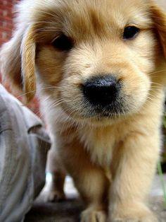 What a cute little #GoldenRetriever #puppy. Aren't Golden Retrievers just the cutest dogs? #PetPremium