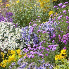 Bunte Astern-Sorten im Gartenbeet