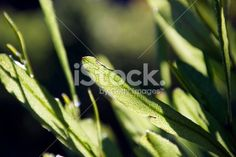 Akeake, the Green-leafed Hop-bush (Dodonaea Viscosa) Royalty Free Stock Photo