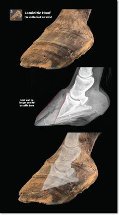Exploring Laminitis helps us to understand why the laminitic hoof remodels and how the underlying structures impact your job as a farrier.