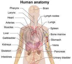 this diagram of the human body shows a range of organs that are important  to human