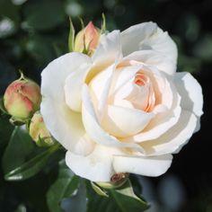 (Rosen Tantau 2003) Höher wachsende Floribunda mit sehr ausdrucksstarken Blütendolden. Die apricot-elfenbeinfarbigen Blüten sind wunderschön schalenförmig gefüllt, duften sehr aromatisch und sind gut wetterfest. Marie...