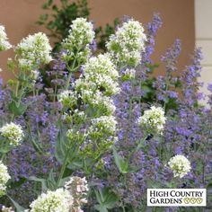 Centranthus rubber Albus and Nepta Flower Garden, Bloom, Plants, Growing Tomatoes In Containers, Country Gardening, Perennials, High Country Gardens, Wildflower Seeds, Drought Tolerant Plants