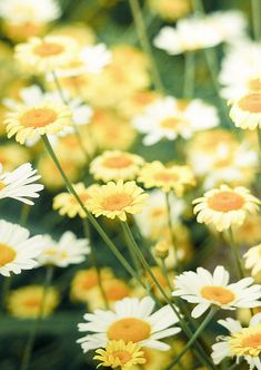 yellow and white daisies, at least I think they're daisies.