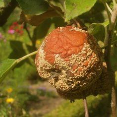 Rotten Apple | Flickr - Photo Sharing!
