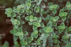 Wellbeing & Mindfulness Images (@wellness_images) • Instagram photos and videos Abstract Images, Abstract Backgrounds, Thyme Herb, Photo Composition, Photo Illustration, Image Now, Royalty Free Images, Close Up, Herbalism
