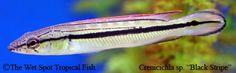 """Crenicichla sp. """"Black Stripe"""""""