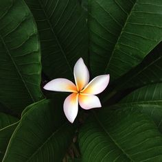The sweet fragrance of the Plumeria is matched only by it's simple, yet elegant beauty.