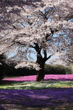 ~ Dying to have a picnic under a blooming Sakura tree!~ Sakura and Moss Pink Beautiful World, Beautiful Places, Beautiful Pictures, Moss Phlox, Blossom Trees, Cherry Blossoms, Nature Prints, Cherry Tree, Belleza Natural