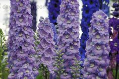 Bloom for May 9, 2012: larkspur (Delphinium elatum) 'New Millenium Morning Lights'. Photo by Dowdeswell Delphiniums.